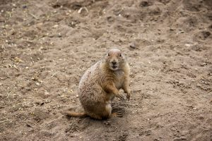 Prairie Dog says WHAT?