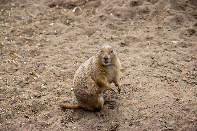 Prarie Dog says WHAT?